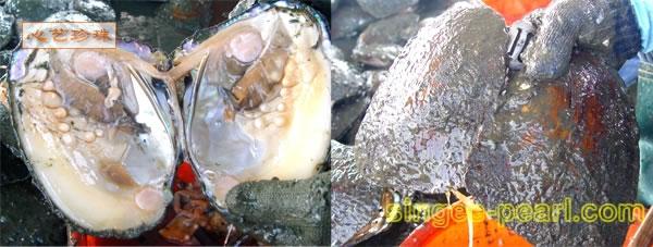 破开的淡水珍珠河蚌