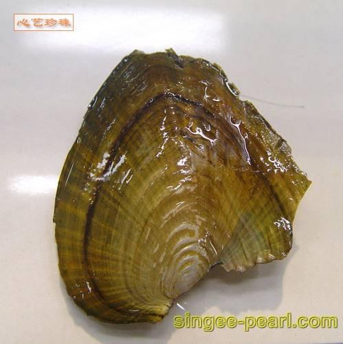心艺珍珠-小珍珠蚌图片-闭合的珍珠蚌